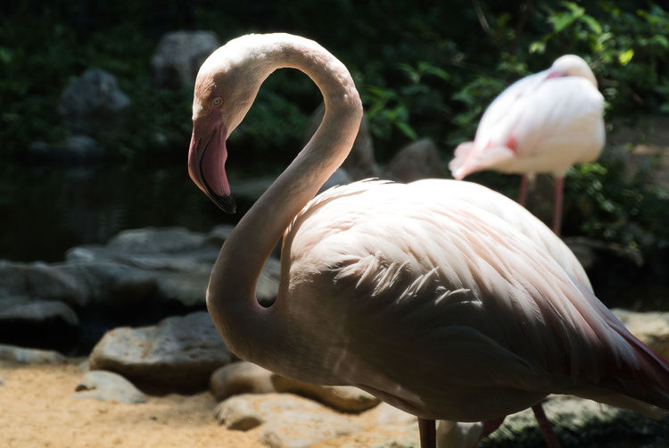 Side view of flamingo at zoo