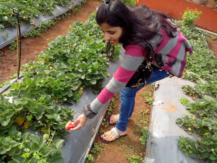 Side view of young woman holding strawberry on plant while standing at farm