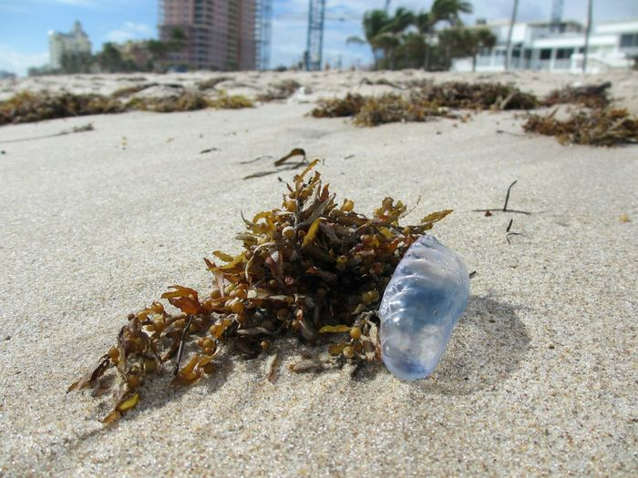 Portuguese man of war No People Outdoors Day Sand Beach Close-up Portuguese Man Of War Fort Lauderdale FL Seashore Jellyfish Ocean Treasures Focus On Foreground Animal Themes Sealife One Animal Seaweed At The Beach Seaweed Beachcombing Seaside