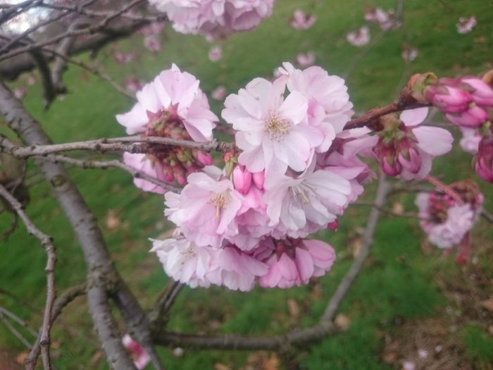 Beauty In Nature Blossom Branch Cherry Blossom Cherry Tree Close-up Day Flower Flower Head Flowering Plant Fragility Freshness Growth Inflorescence Nature No People Outdoors Petal Pink Color Plant Pollen Spring Springtime Tree Vulnerability