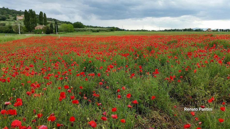 Papaveri Papavero Poppies  Poppies Field Umbria Italia Italy Samsung Galaxy S5 GalaxyS5 Poppy Poppy Fields