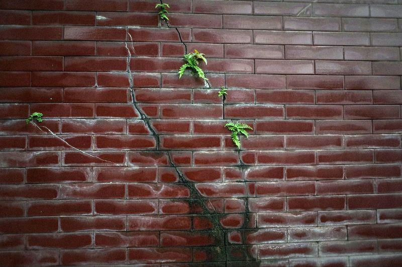 Ivy Leaf Plant