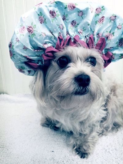 Bathtime Dog Looking At Camera Pets Portrait One Animal Domestic Animals Animal Themes Mammal No People Wrapped Close-up Pet Clothing Outdoors Day Dogs Of EyeEm Dogslife Puppy Love Lhasa Apso Lhasalife