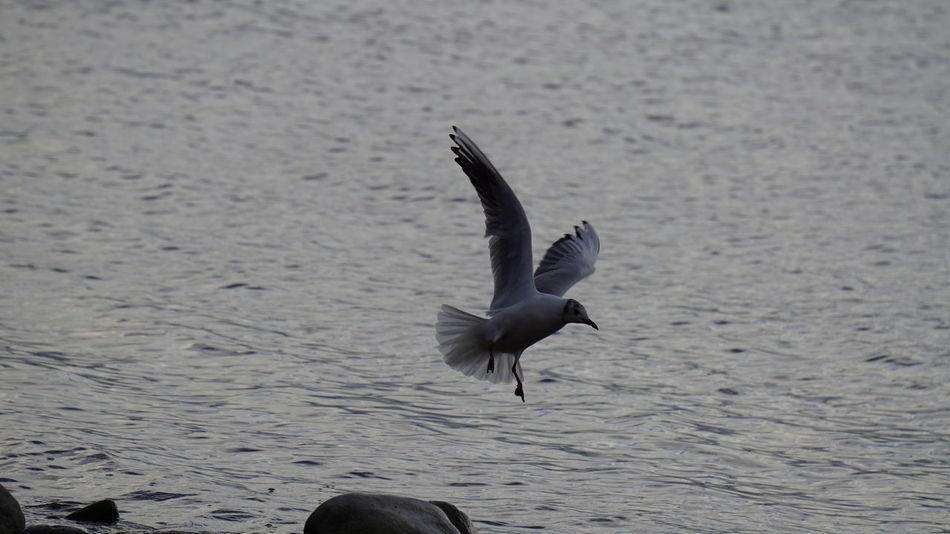 Vogel Seemöwe Bodensee Seagull Water Grey
