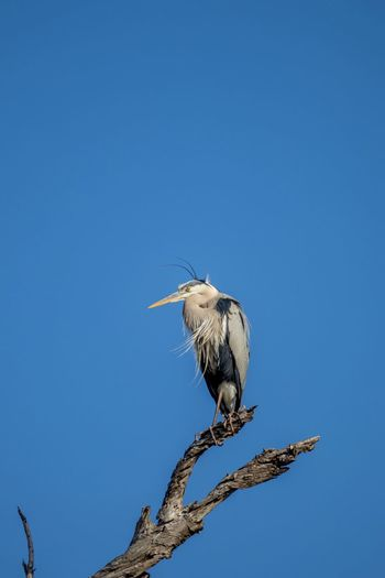 great blue heron perched on a branch against blue sky Bird One Animal Animals In The Wild Animal Themes Vertebrate Animal Wildlife Animal Perching Clear Sky Sky Copy Space Blue No People Low Angle View Tree Branch Nature Day Outdoors Plant Great Blue Heron Perched