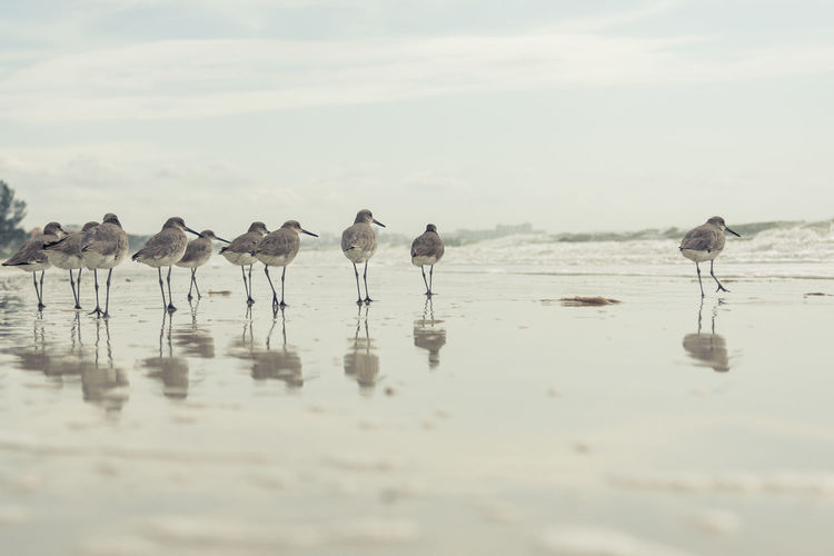 Sandpipers At Beach