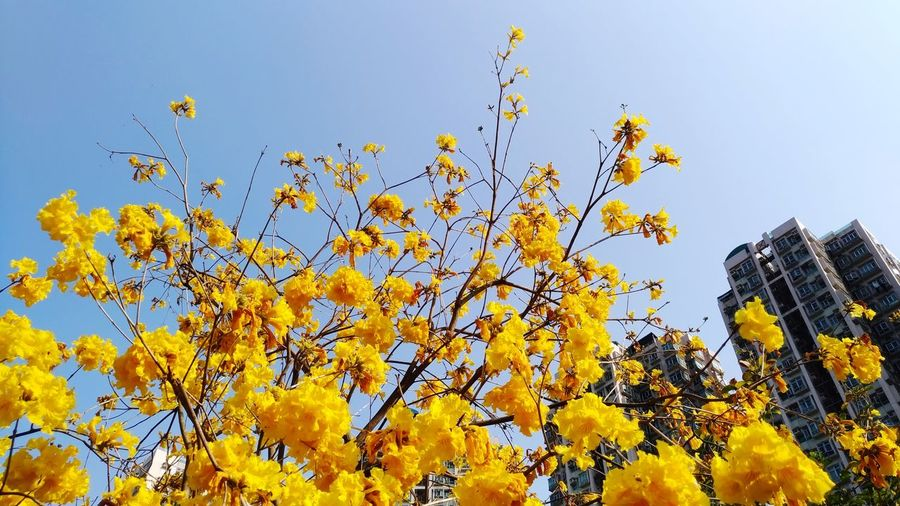Tabebuia chrysotricha in H.K. Tabebuia Chrysotricha Flower Beauty In Nature Freshness Yellow Nature Low Angle View Plant