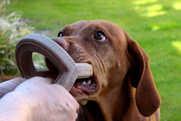 Young Brown Labrador Biting Pet Toy