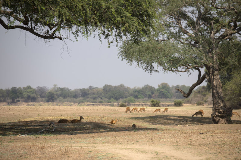 View of impalas on field