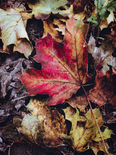 Close-up of fallen maple leaves on land