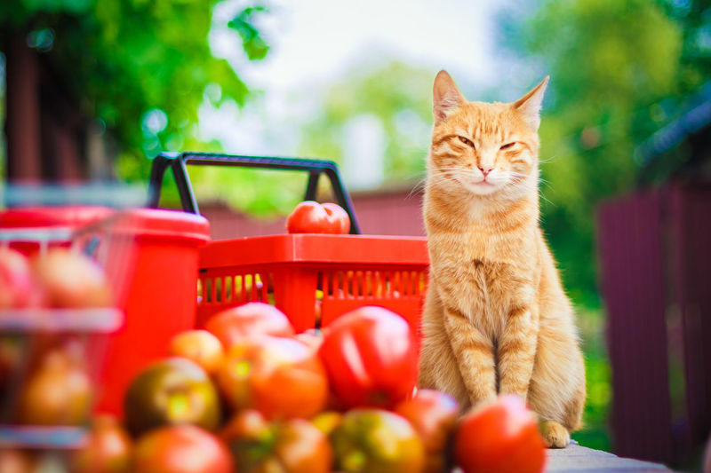Close-up of cat sitting by tomatoes on table