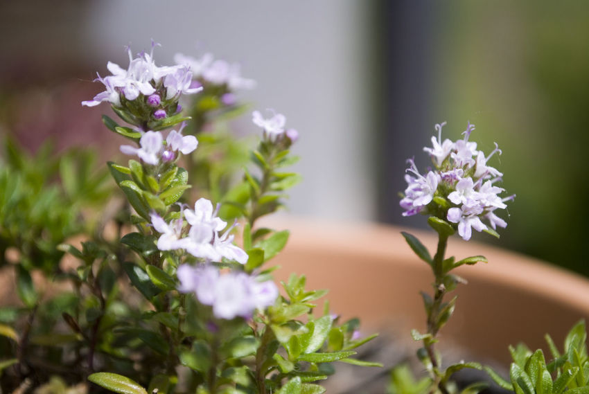 Beauty In Nature Close-up Day Flower Flower Arrangement Flower Head Flowering Plant Focus On Foreground Fragility Freshness Growth Inflorescence Nature No People Outdoors Petal Plant Purple Selective Focus Vulnerability  White Color