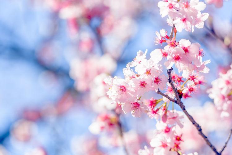 Kanzakura(Cherry