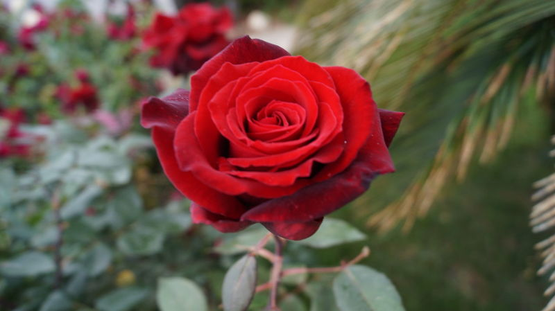 No Filter, No Edit, Just Photography Beauty In Nature Red Color Outside World Garden Photography Nature_collection Flowers,Plants & Garden Nature On Your Doorstep Bright Colors Beautiful Nature Flowers, Nature And Beauty Rose Collection Red Red Rose Roses Red Rose Close Up Focus On Foreground