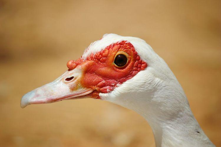 Duck Vegan
