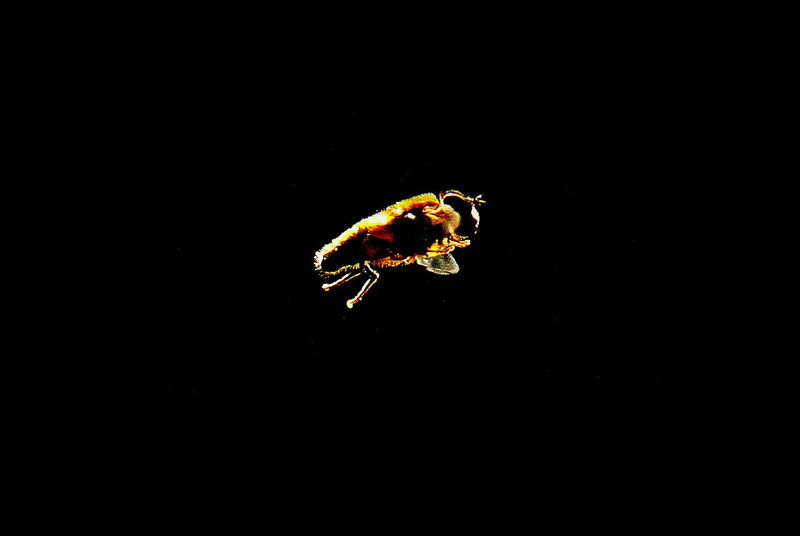 A Hover Fly that just came by :-) Beauty In Nature Black Background Close-up Dark Fly Flying Focus On Foreground Hoverfly Hovver Fly Insect Insect Paparazzi Insect Photography Insect_perfection Insects  Natural Pattern Nature Nature Nature Photography Nature_collection No People Outdoors Selective Focus Study Wildlife Zoology