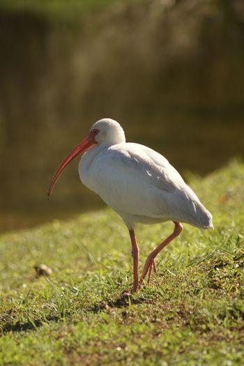 White bird with
