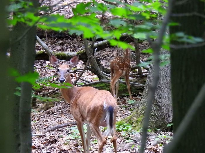 Animals In The Wild Deer Deer Sighting Nature Nature Photography Trees Wildlife & Nature Wildlife Photography Animal Wildlife Animals Beauty In Nature Deer Moments Deersighting Doe And Baby Doe And Fawn Fawn In The Woods Nature_collection Walking In The Woods Wildlife Woods