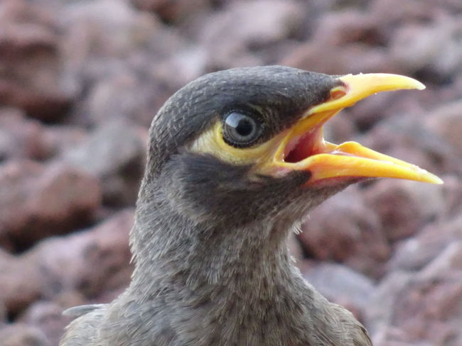 Common Mynah series (1) Acridotheres Tristis Indian Myna Birds EyeEm Birds