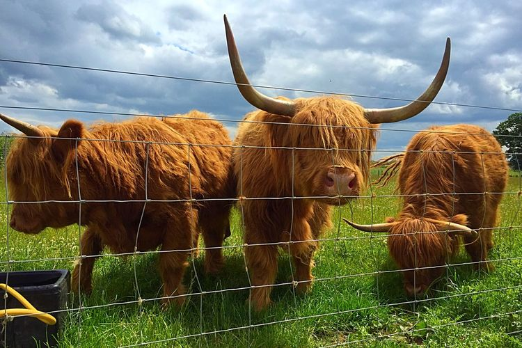 Highland cattle grazing on grassy field against cloudy sky