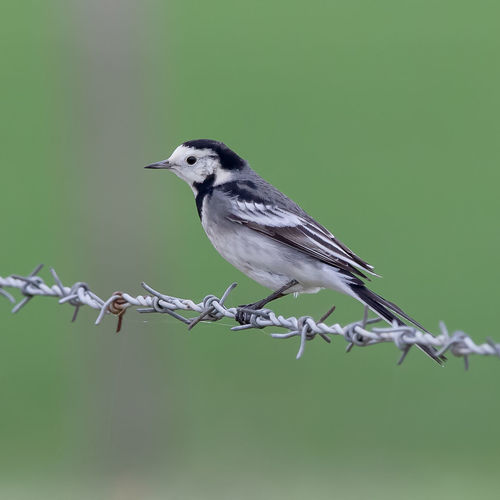 Wagtail on Wire