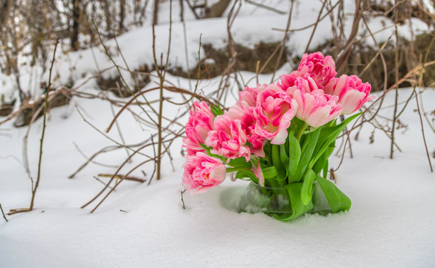 Close-up of pink roses in snow