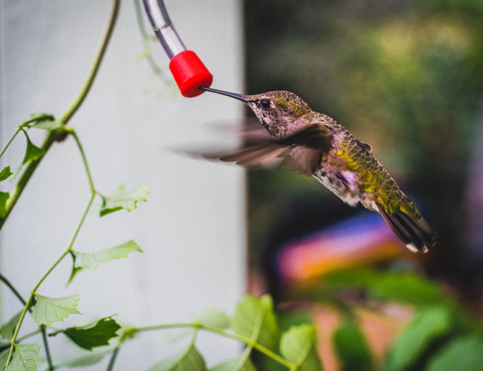 Animal Themes Animal Wildlife Animals In The Wild Beauty In Nature Bird Bird Feeder Close-up Day Focus On Foreground Food Freshness Hummingbird Nature No People One Animal Outdoors Perching Red