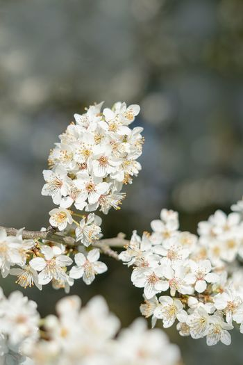 Flower Flowering Plant Vulnerability  Fragility Freshness Plant Beauty In Nature Growth White Color Inflorescence Petal Nature Close-up Springtime Blossom Flower Head Day No People Botany Selective Focus Outdoors Cherry Blossom Bunch Of Flowers Cherry Tree