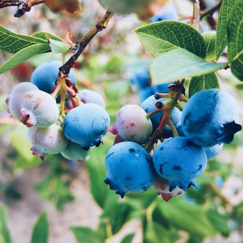 Blueberry Harvest Blueberry Blueberries Tree Fruit Agriculture Unripe Hanging Close-up Plant Food And Drink Green Color Growing Leaf Vein Berry Fruit Juicy Ripe Crop
