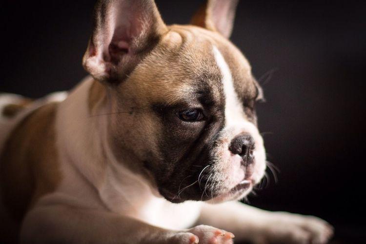 Serius Seriusface Why So Serius? Dog Dog Love Doggy French Bulldog Pet Life  Pet Photography  Thinking Thinking About Life Animal Photography Animals Posing Animalface Animalposing