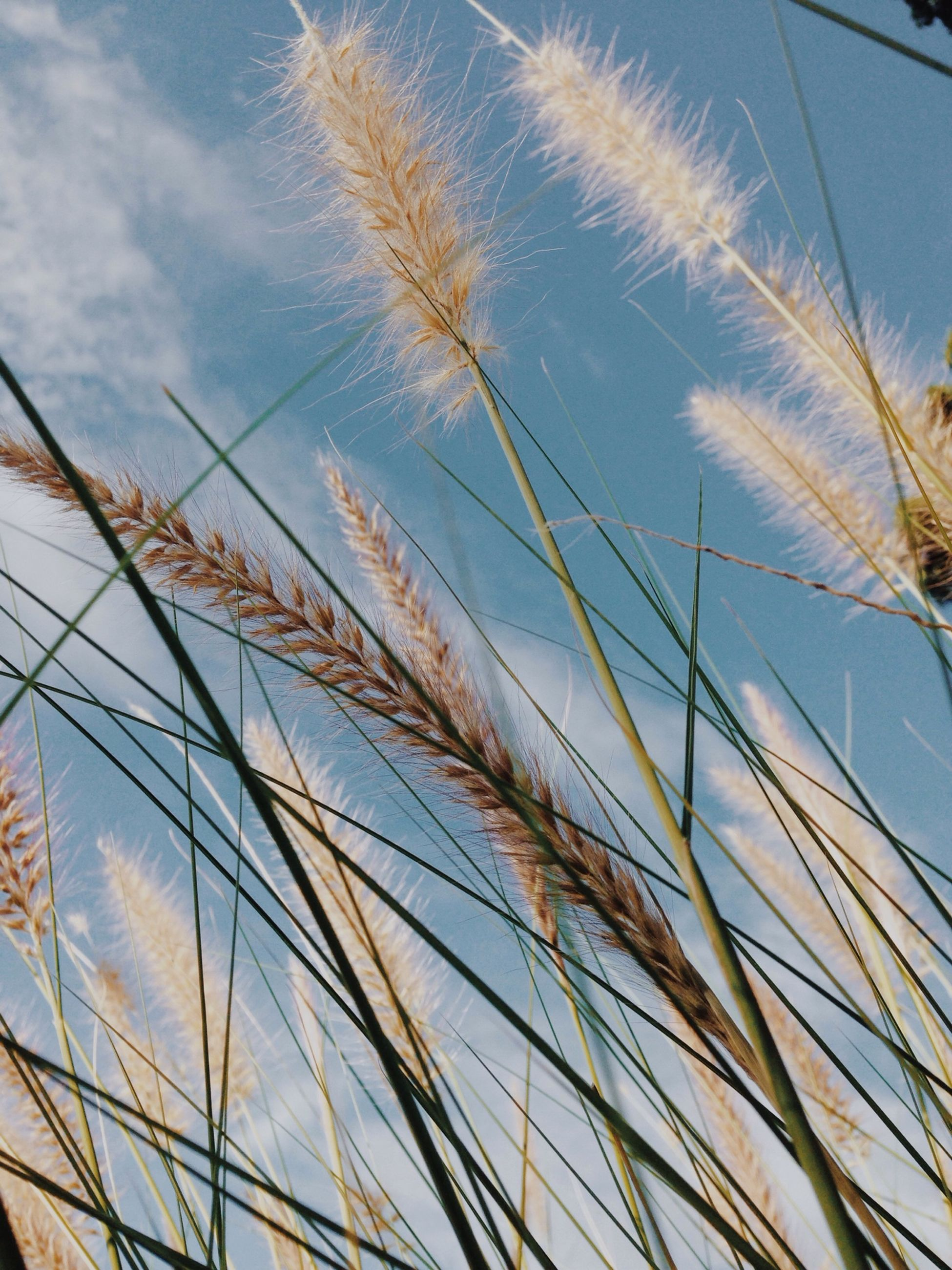 growth, plant, nature, sky, tranquility, grass, beauty in nature, close-up, cereal plant, crop, day, growing, wheat, no people, outdoors, palm tree, agriculture, stalk, stem, straw