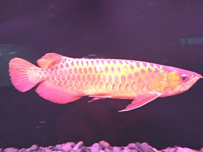 Red Arwana Fish
