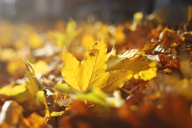 Autumn colors Autumn Mood Autumn Leaves Autumn colors Leaf Plant Part Autumn Change Selective Focus Close-up Nature Yellow Day Leaves Fragility Beauty In Nature Plant Outdoors Sunlight Vulnerability  Dry Tranquility Falling No People