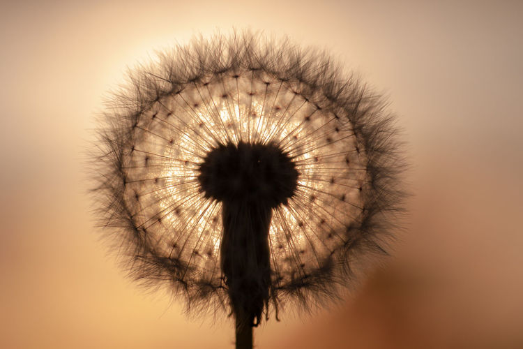 No People Colored Background Close-up Silhouette Dandelion Nature Back Lit Single Object Sky Flower Plant Outdoors Shadow Shadows & Lights Seed Dandelion Seed Sunset Makro Blackandwhite Love EyeEmNewHere My Best Photo