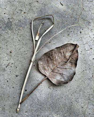 Veins In Leaves