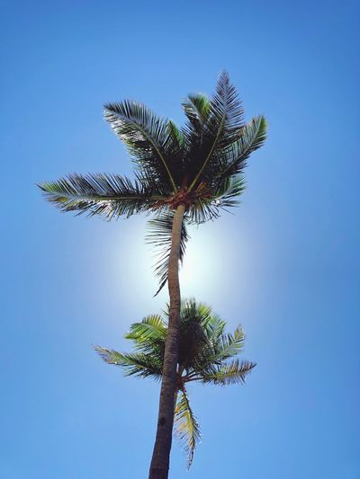 High up Puertoricotourism Puerto Rico Plant Sky Tree Blue Low Angle View Growth Clear Sky Nature No People Sunlight Tranquility Day Beauty In Nature Copy Space Outdoors Tree Trunk Trunk Leaf Tall - High Plant Part
