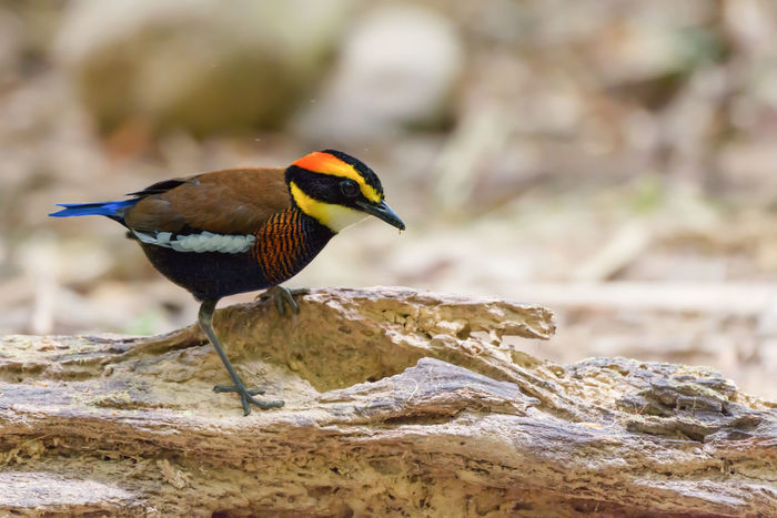 Male banded pitta,southern Thailand Banded Pitta Colourful Forest Male Pitta Rare Bird Southern Thailand Tropical Climate Walking Around