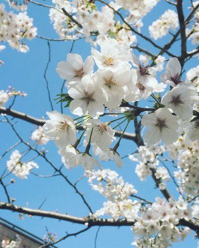 Spring has come Japan Photography Japan Sakura Blossom Sakura Cherry Blossom Spring Flowers Spring Springhascome Flower Fragility Blossom White Color Springtime Apple Blossom Growth Cherry Blossom Beauty In Nature