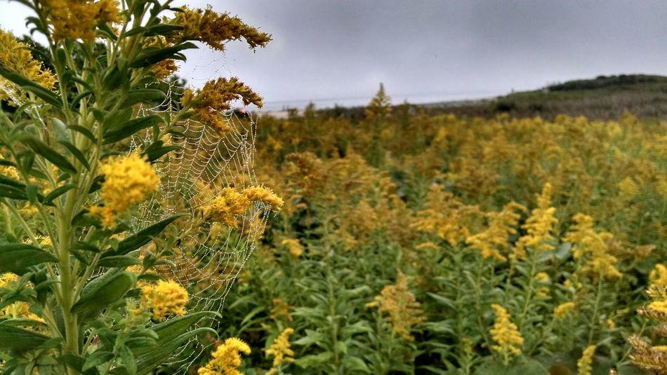 New England  Landscape Massachusetts East Coast Marthas Vineyard Spiderweb Goldenrod