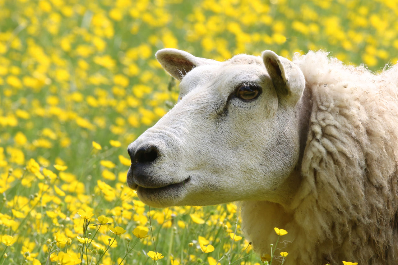 yellow, animal, one animal, animal themes, mammal, domestic animals, flower, livestock, pets, flowering plant, domestic, field, vertebrate, plant, close-up, land, animal head, nature, day, animal body part, no people, outdoors, herbivorous