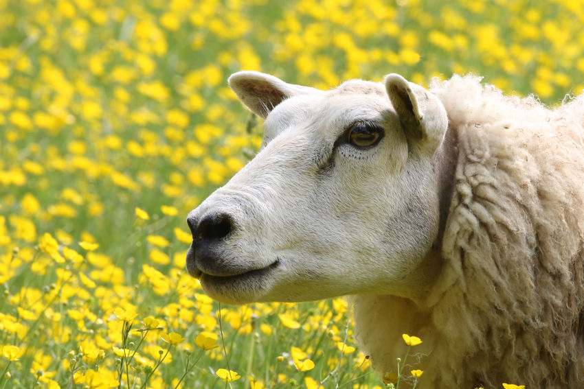Sheep in a field of daisies Animal Animal Body Part Animal Head  Animal Themes Close-up Day Domestic Domestic Animals Field Flower Flowering Plant Herbivorous Land Livestock Mammal Nature No People One Animal Outdoors Pets Plant Vertebrate Yellow