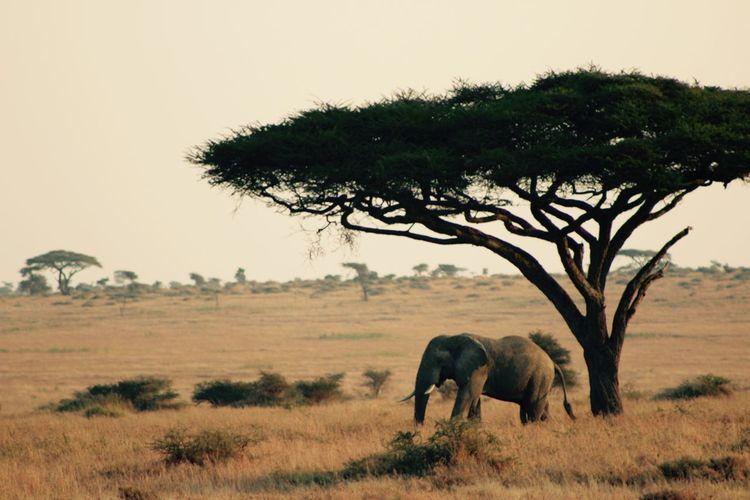 Acacia Tree Africa African Elephant African Safari Animal Animal Themes Beauty In Nature Elephant Herbivorous Landscape Mammal Nature One Animal Safari Scenics Serengeti Serengeti National Park Serengeti, Tanzania Single Tree Standing Tanzania Tranquil Scene Tranquility Tree Zoology