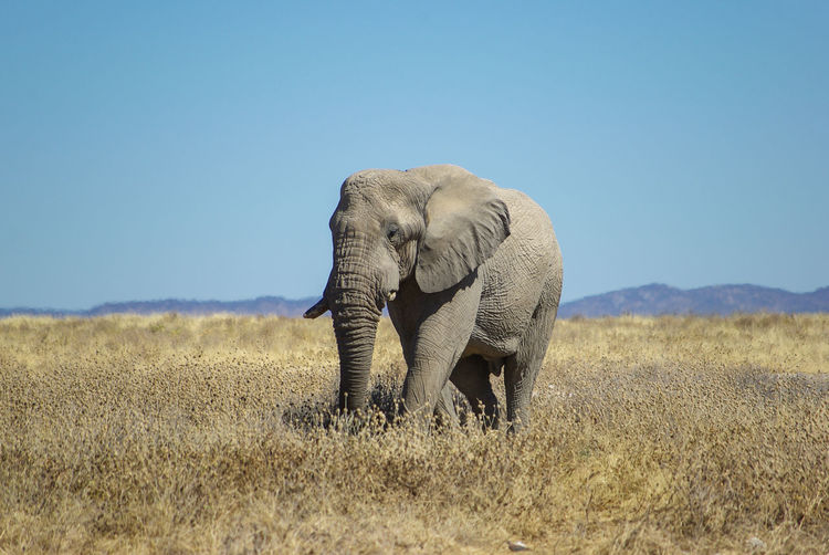 Elephant in the plains Namibia African Elephant Animal Animal Themes Animal Wildlife Animals In The Wild Blue Clear Sky Day Elephant Elephants Environment Field Herbivorous Land Landscape Mammal Mammals Nature No People One Animal Outdoors Plant Sky Vertebrate