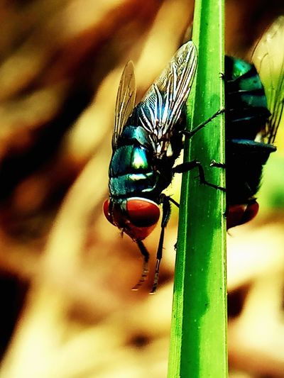 Animal Animal Eye Animal Themes Animal Wildlife Animal Wing Animals In The Wild Close-up Day Fly Green Color Insect Invertebrate No People One Animal Outdoors
