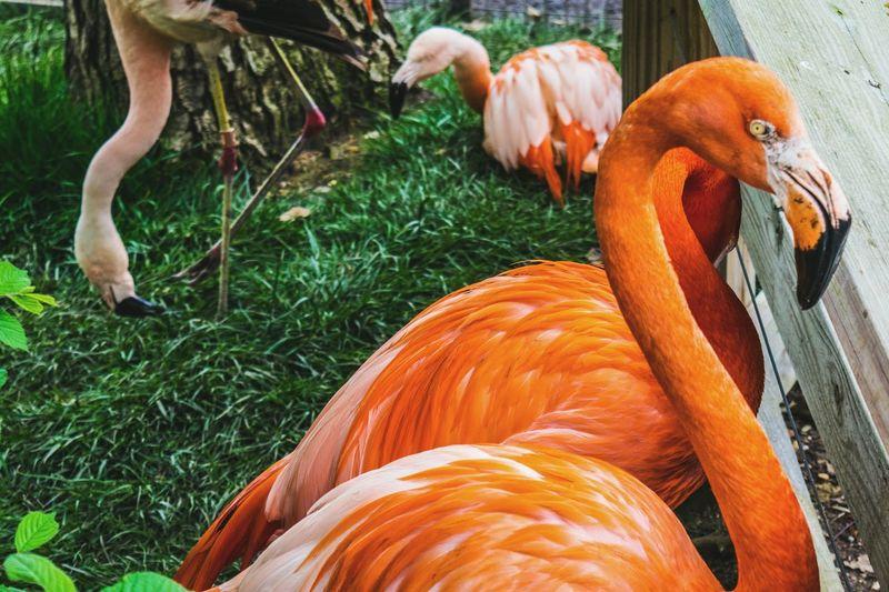Orange flamingos on grassy field in zoo