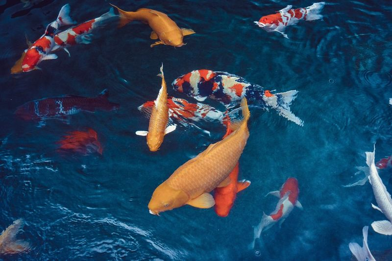 Close-up of koi fish in water