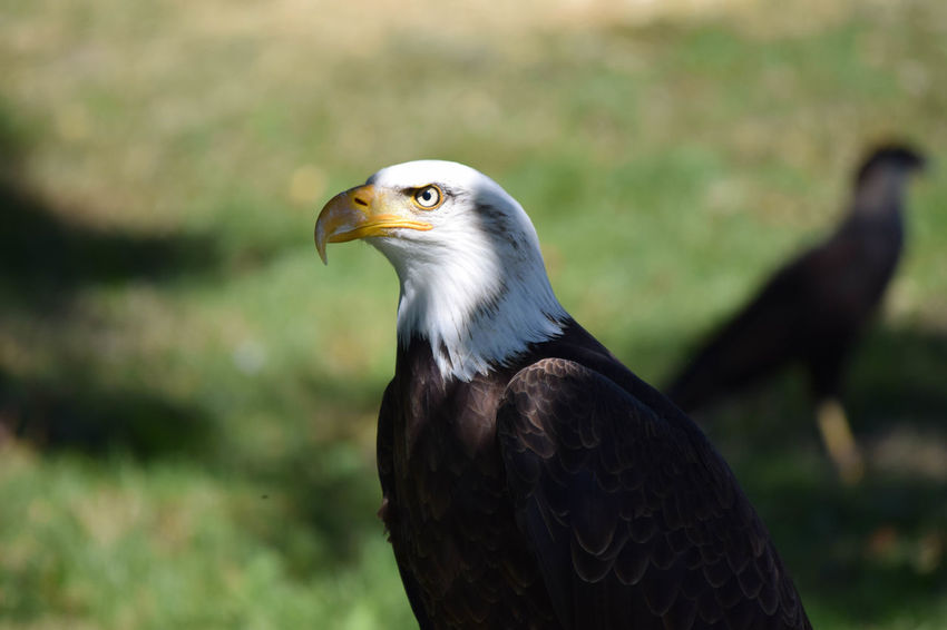 Aigle Pêcheur American Animal Body Part Animal Head  Animal Themes Beak Beauty In Nature Bird Bird Of Prey Close-up Day Feather  Focus On Foreground Grass Nature No People Outdoors Portrait Selective Focus Vulture Wildlife