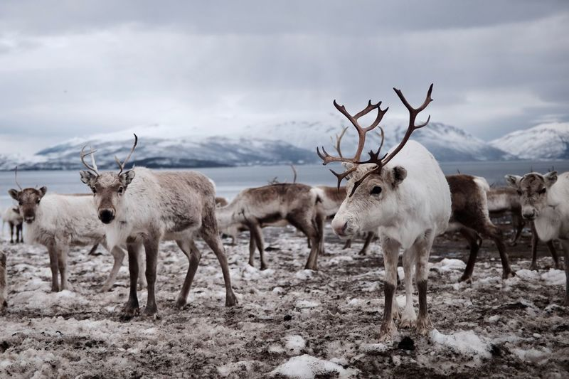 Herd Of Reindeer On Field