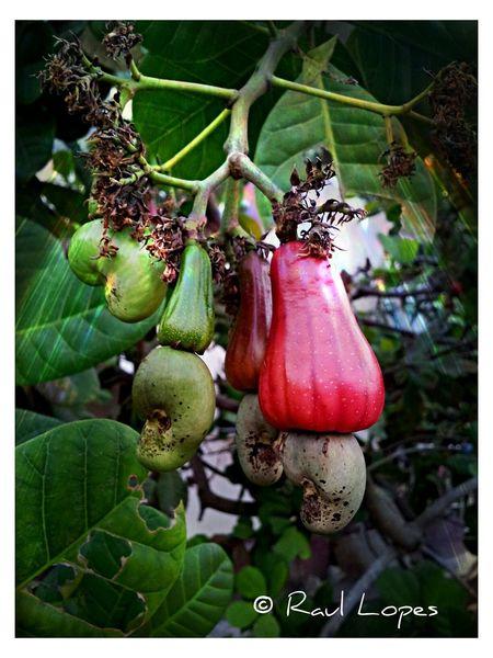 Cashew pod Cashew Nut