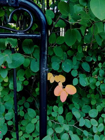 Outdoors Leaf Nature No People Leaves🌿 Gate Iron Gate Bush Green Leaves Divergent Changing Colors Soft Versus Hard